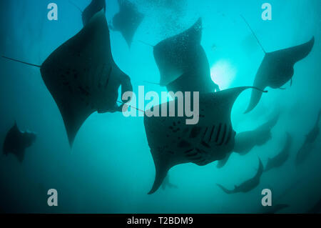 Eine sehr große Anzahl von Manta Rochen Fütterung auf Plankton in der Hanifaru Bay Area, Malediven. - Stockfoto