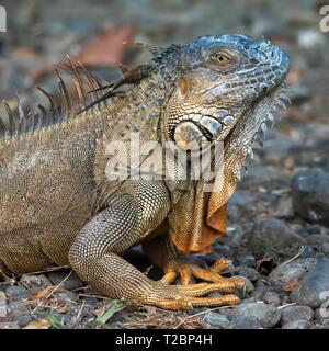 Grüner Leguan führt eine mini Kobra nach oben mit seiner Front Gliedmaßen, die Spikes entlang seiner Kehle deutlich zu sehen