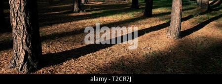 Pine Tree trunks und Schatten im Wald auf einem sonnigen Morgen, close-up. Herbst Saison. Web Banner. - Stockfoto