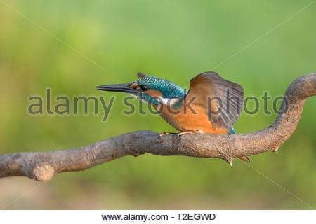 Schöne Portrait von Eisvogel Vogel bereit zu fliegen (Alcedo atthis) - Stockfoto