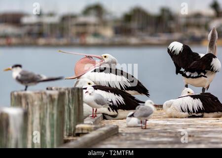 Pelikane auf Tyrannen Steg auf der Fleurieu Peninsula Goolwa South Australia am 3. April 2019 - Stockfoto