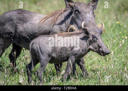 Mutter und Baby Warzenschweine (Phacochoerus africanus) im Gras in Masai Mara National Reserve, Kenia - Stockfoto