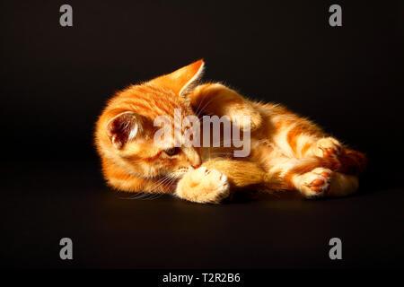 Portrait eines süßen Ginger tabby Kätzchen spielen mit einem Spielzeug Maus auf einem schwarzen Hintergrund isoliert - Stockfoto
