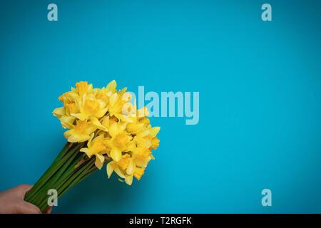 Schöne gelbe Narzissen in der weiblichen Hand auf einem blauen Hintergrund - Stockfoto