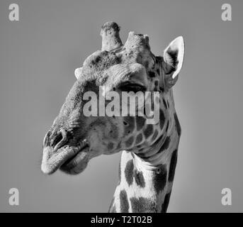Closeup Gesichts Porträt einer Giraffe im südlichen afrikanischen Savanne