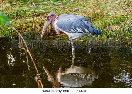 Große Marabu auf der Suche nach Essen und seine Reflexion in seichtem Wasser - Stockfoto
