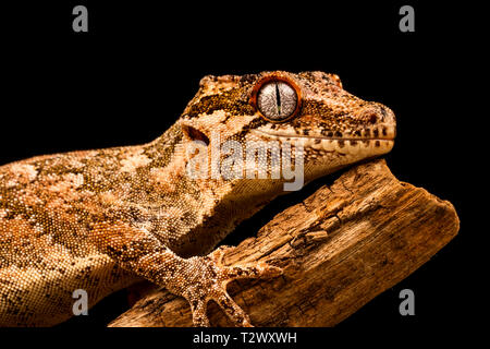 Gargoyle Gecko (Rhacodactylus auriculatus) oder neue Caledonian holprigen Gecko ist eine Pflanzenart aus der Gattung der Gecko gefunden nur am südlichen Ende der Insel Neukaledonien. - Stockfoto