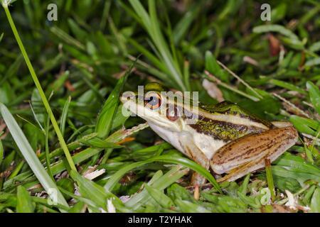 Gemeinsame grünen Frosch (Hylarana Erythraea), Sepilok Nature Reserve, Sabah, Borneo, Malaysia - Stockfoto