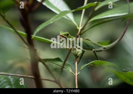 Grüne Crested Lizard (Bronchocela cristatella) im Baum, Naturschutzgebiet Sepilok, Sabah, Borneo, Malaysia