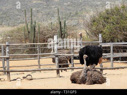 Strauße (Struthio camelus) in ihre Stifte an der Aruba Ostrich Farm, Paradera, Aruba. Das Paar im Vordergrund stehen. Männliche hat schwarze Federn. - Stockfoto