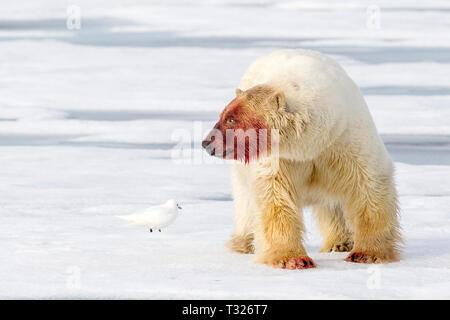 Polar Bear nach der Fütterung auf Walross, Ursus maritimus, Spitzbergen, Arktis, Norwegen - Stockfoto