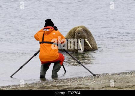 Fotografen, Bild der Atlantischen Walross, Odobenus rosmarus, Spitzbergen, Arktis, Norwegen - Stockfoto