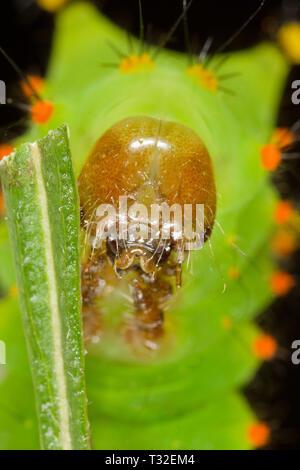Indian Moon moth Caterpillar - Stockfoto