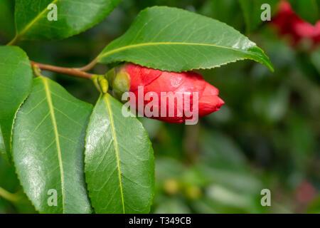 Nahaufnahme einer Blüte Camellia japonica (Japanische Kamelie) mit Wassertropfen auf einem frühen Morgen im April. Rot blühenden Gemeinsamer Kamelie im Frühjahr. - Stockfoto