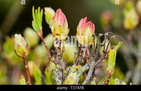 Azalea Knospen im Frühjahr - Stockfoto