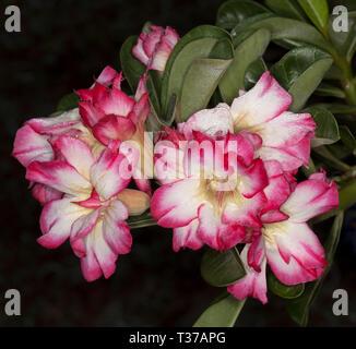 Cluster von atemberaubenden und ungewöhnliche doppelt rosa und weißen Blumen und grüne Blätter von adeniums obtusum, African Desert Rose auf dunklem Hintergrund - Stockfoto