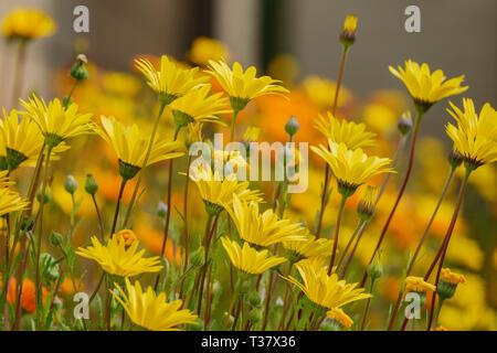 Nahaufnahme von Dimorphotheca sinuata Blüte Temple City, Kalifornien - Stockfoto