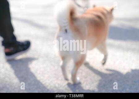 Shiba Inu, Japanische Hunde, Porträts. - Stockfoto