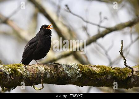 Singen männliche Amsel in einem Baum - Stockfoto
