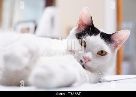 Eine weiße Katze mit schwarzen Markierungen und gelbe Augen ist entspannend auf einem Bett mit seinen Pfoten vorwärts