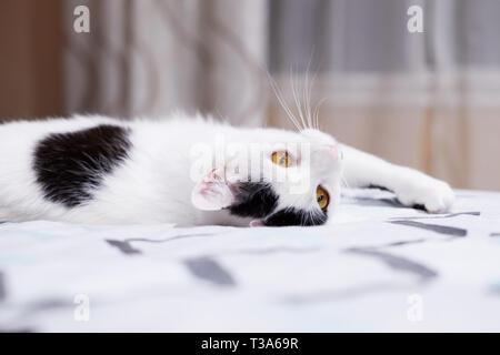 Eine weiße Katze mit schwarzen Markierungen rollt auf einem Bett zu Hause und fühlt sich glücklich
