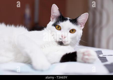 Eine weiße Katze mit schwarzen Markierungen ist entspannend auf einem Bett zu Hause und fühlt sich glücklich