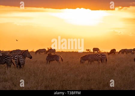 Zebras grasen in Gruppen bei Sonnenuntergang in der Mara triangle während der Migration Saison Stockfoto