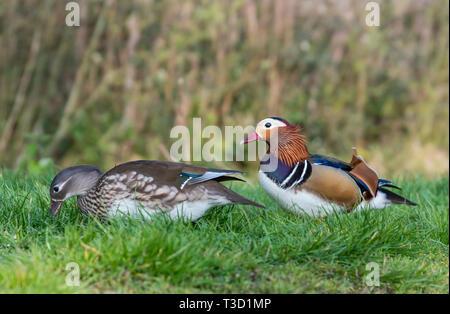 Drake und Henne Mandarin Enten (Aix galericulata) auf Gras im Frühling in West Sussex, UK. Stockfoto