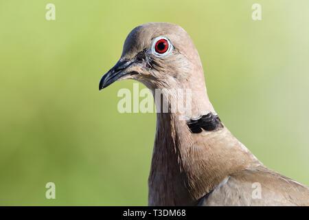 Köpfe heiß eines Eurasischen collared dove (streptopelia decaocto) - Stockfoto