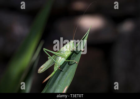 Super Green Bush Cricket; Tettigonia Viridissima; Frau; Cornwall, UK - Stockfoto