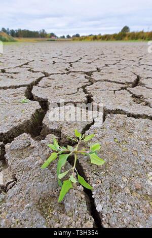 Neue Schießen von Anlagen in trockenen Lehm rissig Schlamm in ausgetrockneten See bed/Riverbed durch die lang anhaltende Trockenheit im Sommer Bei heißem Wetter Temperaturen - Stockfoto