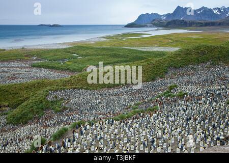 Tausende von Königspinguine (Aptenodytes patagonicus), Pinguin Kolonie mit jungen Tieren auf einen Nistplatz in Salisbury Plain, Bucht der Inseln, Süd - Stockfoto