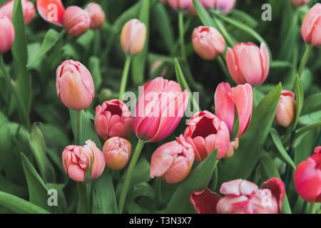 Bunte Tulpen Blume Bereich mit niedrigen sun Beleuchtung. - Stockfoto
