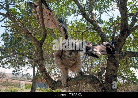 Giant Eagle Owl, verreaux's Uhu oder milchig Uhu (Bubo lacteus), ausgehend von einem Zweig eines Baumes, Amboseli, Kenia, Afrika - Stockfoto