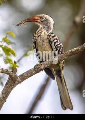 Southern Red-billed Hornbill (Tockus erythrorhynchus) im Baum mit Insekt im Schnabel in den Krüger National Park, Südafrika - Stockfoto