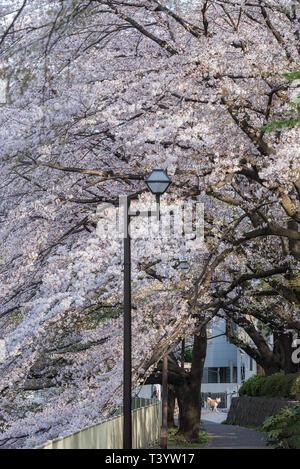 Shiba Inu, Japanische Hunde- und die Kirschblüte Bäume und Blumen Sakura in Tokio. - Stockfoto