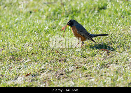 Der frühe Frühling robin Fang Wurm im grünen Gras auf ein Feld. - Stockfoto