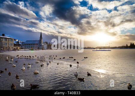 Enten und Schwäne schwimmen auf einem vereisten See Tjörnin Teich mit Fríkirkjan im Hintergrund im Winter in Reykjavik, Island - Stockfoto