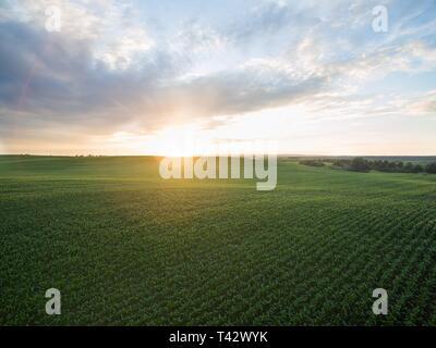 Luftaufnahme von einen wunderschönen Sonnenuntergang über grüne Maisfelder - landwirtschaftliche Felder - Stockfoto