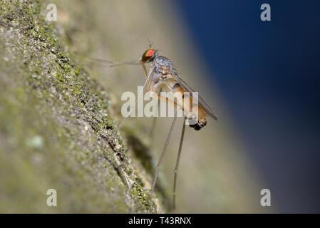 Kleine rote Augen fliegen Sitzen auf einem Baumstamm - Stockfoto