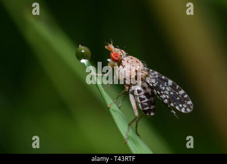 Kleine rote Augen Fliege sitzt auf einem pflanzlichen Stammzellen vor einem Tau - Stockfoto