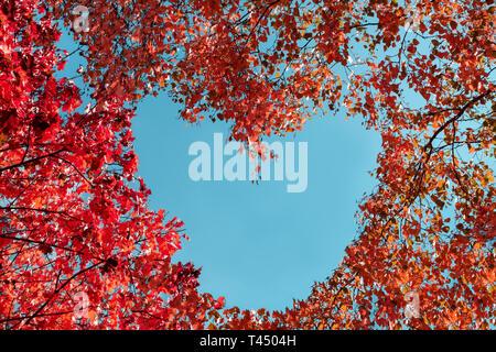 Rote Blätter im Herbst auf Bäumen in Form von Herzen auf dem Hintergrund des blauen Himmels. Kopieren Sie Platz - Stockfoto