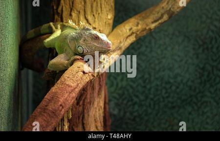 Nahaufnahme eines Chamäleons auf einem Zweig, bunte Iguana in den Farben Grün und Schwarz, tropischen Reptil aus Madagaskar - Stockfoto