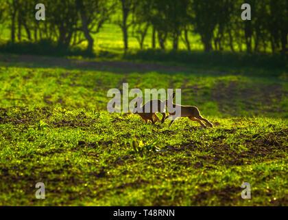 Am frühen Morgen Sonnenschein fügt zurück Licht o Frühling braun Hasen in die Landschaft von Cheshire - Stockfoto