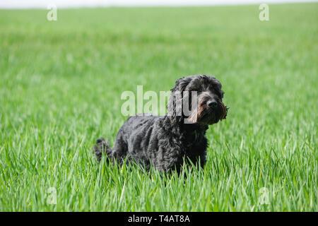Schwarze männliche Cockapoo Hund in ein grünes Feld. - Stockfoto