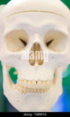 Layout eines menschlichen Schädels closeup, medizinische Ausstellung - Stockfoto