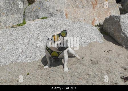 Langen Felsformation, Cornwall, UK. 16 Apr, 2019. UK Wetter. Warm und sonnig am Strand von langen Felsformation, Cornwall für Titan der Mops zum Mittagessen gehen. Foto: Simon Maycock/Alamy leben Nachrichten - Stockfoto