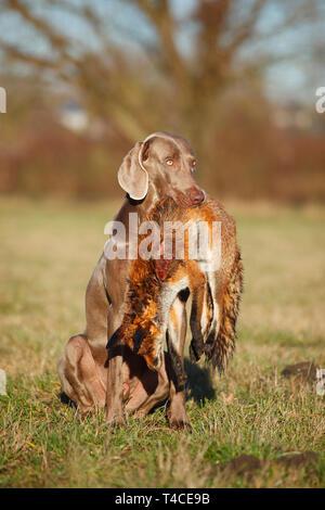 Weimaraner Abrufen von Red Fox, Nordrhein-Westfalen, Deutschland (Vulpes vulpes) - Stockfoto