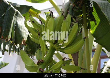 Bananenanbau auf Teneriffa, Kanarische Inseln in der Wintersaison - Stockfoto
