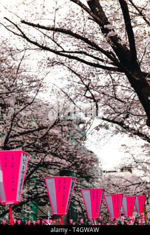 Cherry Blosson in Meguro Fluss in Tokio, Japan. - Stockfoto